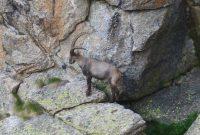 4000er-für-Einsteiger-Steinbock-Gran-Paradiso-Nationalpark
