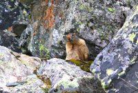 Auf-dem-Stubaier-Höhenweg-zum-Habicht---Murmeltier-als-Beobachter