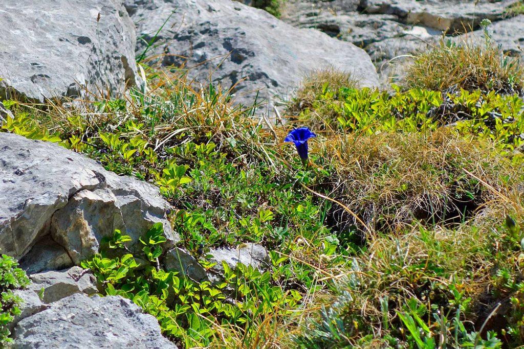 Klettern-an-der-Kampenwand---Enzian