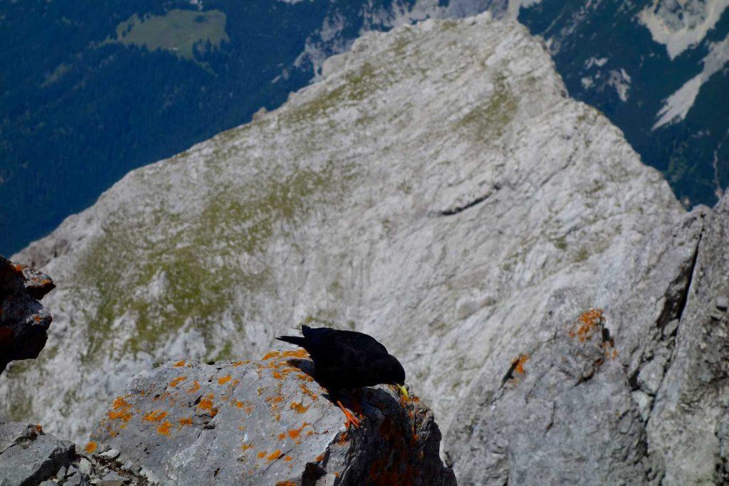 Kopftörlgrat-im-Wilden-Kaiser---Dohle-am-Gipfel