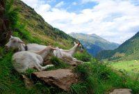 Stubaier-Alpen---Wilder-Freiger,-Wilder-Pfaff-und-Zuckerhütl---Ziegen-am-Weg-zur-Nürnberger-Hütte